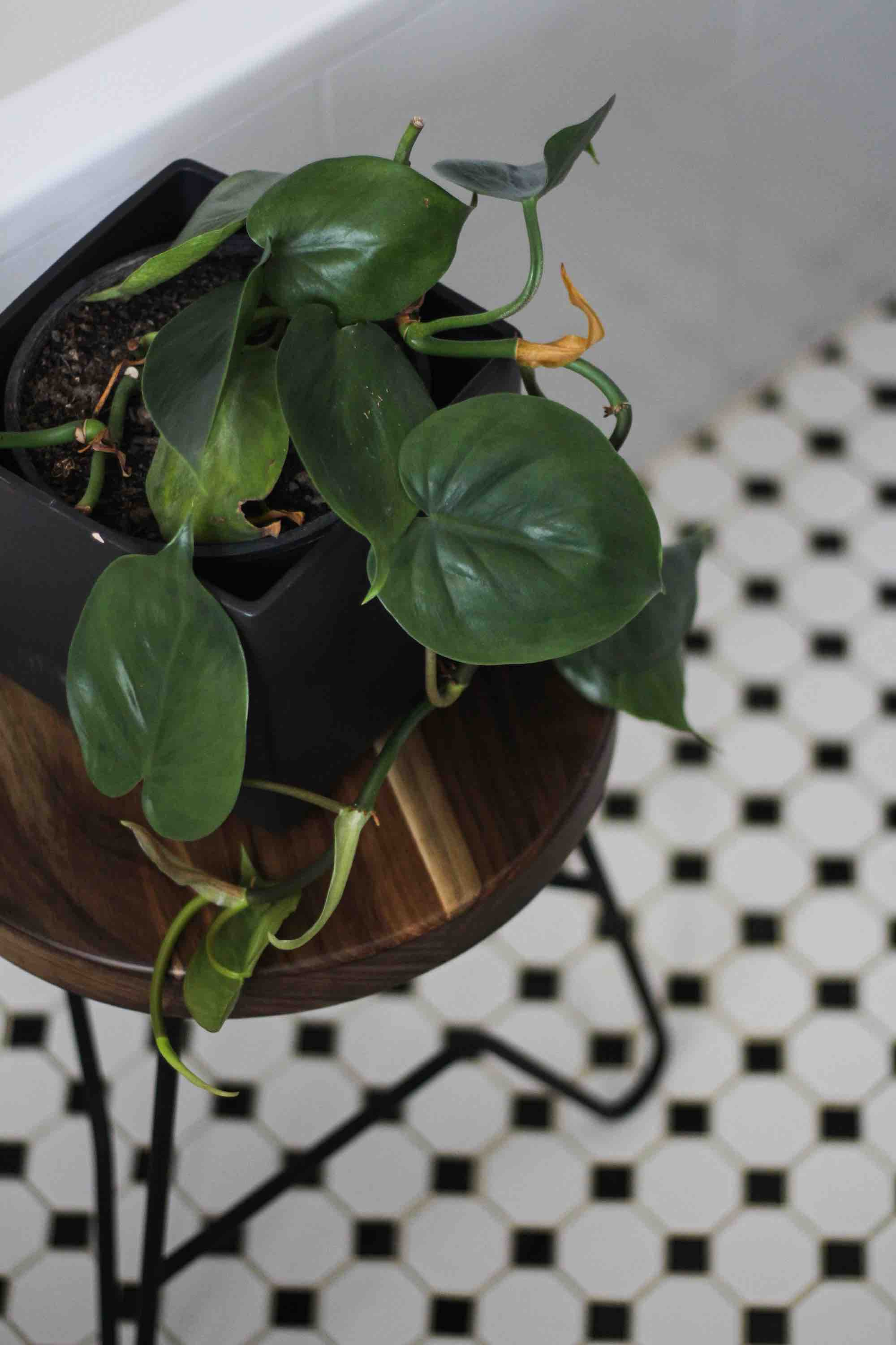 Indoor plant on Springbok side table